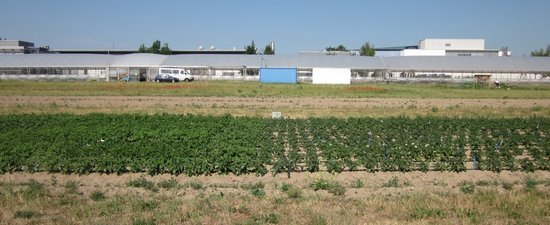 <p>Fig 1: Potato cultivars grown at two water supplies (left sufficient water, right drought stress) in a field trial in Golm 2011.</p>