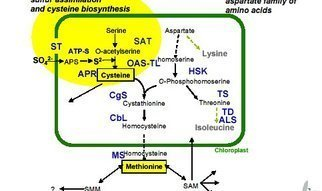 To learn about the control mechanisms involved in the biosynthesis of sulfur-containing amino acids, we are isolating and studying genes involved and their promoters. Methionine is synthesised from cysteine and phosphohomoserine via the enzymes cystathionine gamma-synthase (CgS), cystathionine beta-lyase (CbL), and methionine synthase (MS); we have cloned and characterised these three genes in potato.