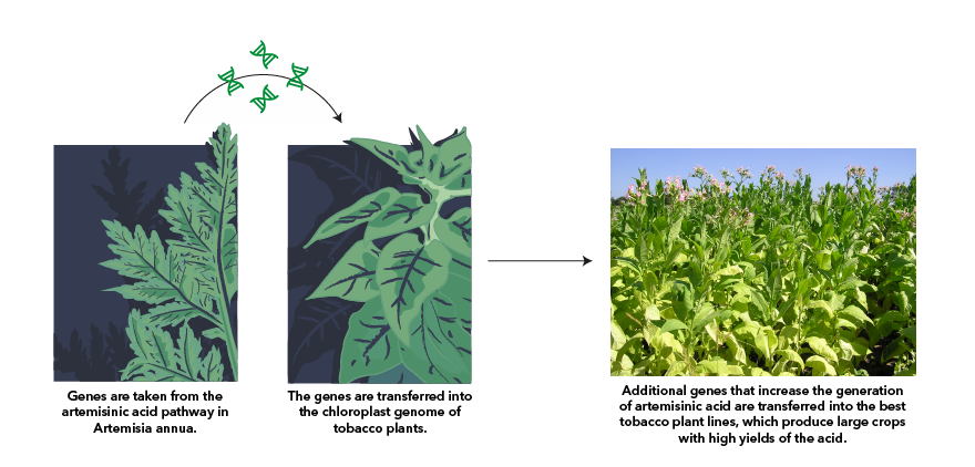 New methods in plant biotechnology could allow an inexpensive mass-production of a malaria drug. Transfering genes from <em>Artemisisa annua</em> to tobacco leads to a high-yielding production of the naturally occuring artemisinic acid.