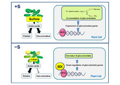 <p><em>SDI represses biosynthesis of glucosinolates under sulfur deficient environment (−S) by interacting with MYB28, a major regulator of the pathway, which enables plants to prioritize sulfur usage for primary metabolism under −S. </em></p>