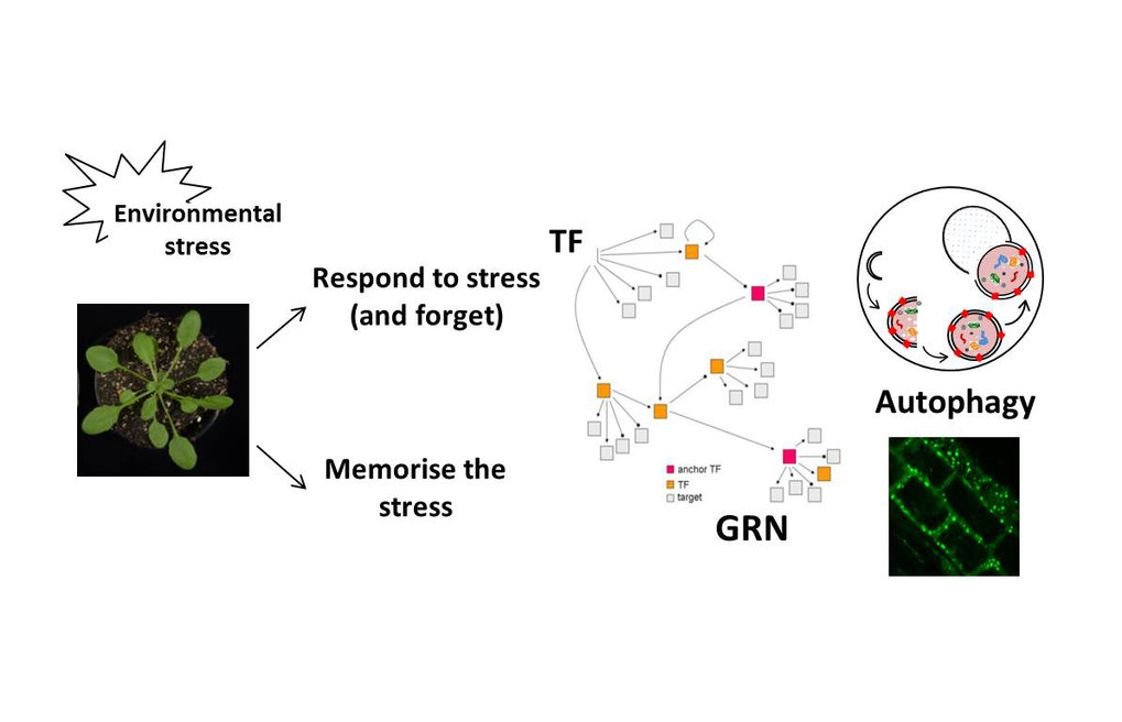 "<div style=""text-align: left;"">The research group of<strong> Dr. Salma Balazadeh </strong>aims to functionally characterise and identify the gene regulatory networks (GRNs) of transcription factors (TFs) involved in the adaptation of plant growth to environmental changes in the model plant <em>Arabidopsis thaliana</em> and transfer the knowledge obtained in Arabidopsis to crops such as tomato. The group also investigates the molecular machinery that underlies the memory and forgetfulness of stress by focusing on the role of autophagy for heat stress memory in Arabidopsis.</div>"