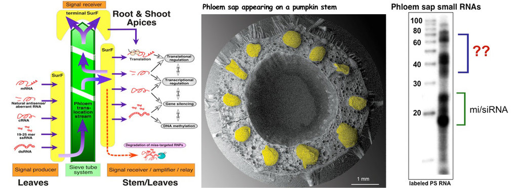 In plants the phloem serves as system-wide delivery pathway for nutrients such as amino acids, sugars, growth regulating hormones and also specific RNA molecules. Such phloem-delivered RNAs include messenger RNA (mRNA), silencing-induced RNA (siRNA) and micro RNA (miRNA) and were shown to act as long-distance signals regulating growth.