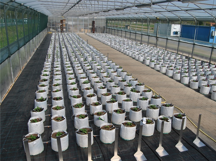 Fig 1: Potato cultivars grown at two water supplies (left sufficient water, right drought stress) in a field trial in Golm 2011.