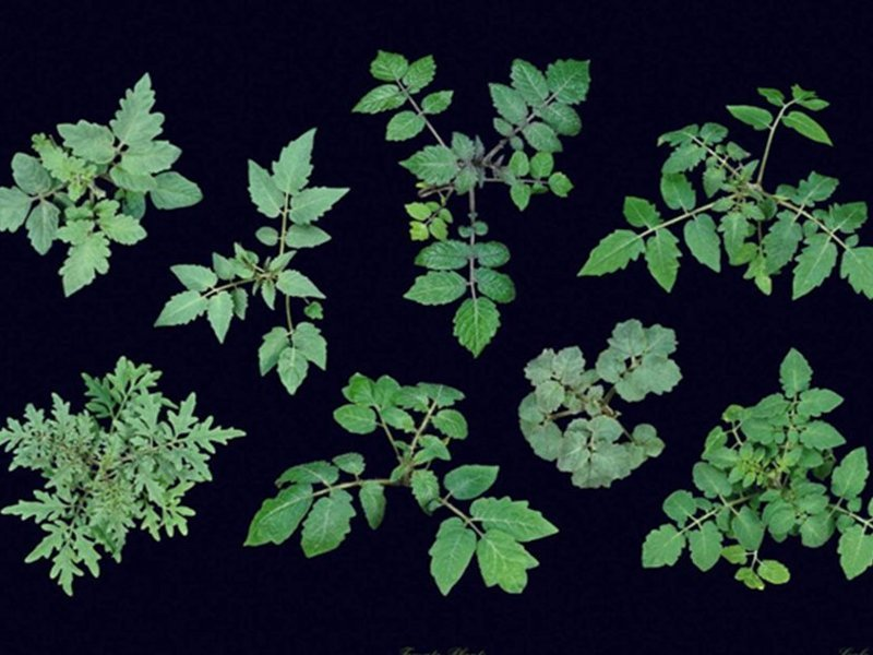 Different tomato accession lines (Solanum spec.) and Arabidopsis thaliana are the most important model organism for the group.