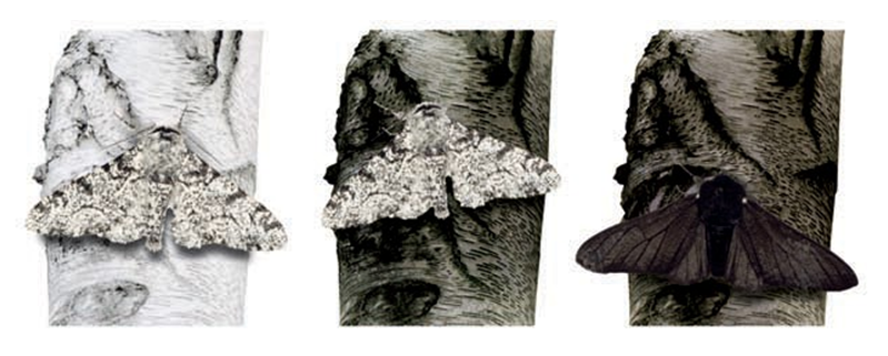 The peppered moth and its diverse phenotypes. The white butterfly is well masked at clean, white birch stems and is rarly becoming a prey by its predator. At the polluted, grey birches, dark peppered moths have an advantage instead.