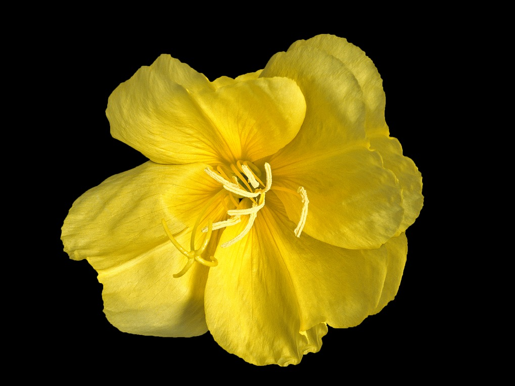 The model organism Oenothera (evening primrose) is used to elucidate the influence of the cytoplasmic genetic elements (plastids and mitochondria) on breeding relevant traits and to study mechanism of asexual inheritance.