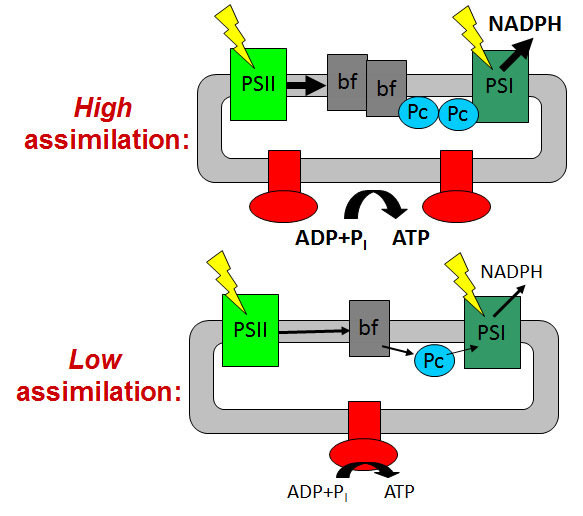 To avoid an over-acidification of the thylakoid lumen and the detrimental production of reactive oxygen species, the photosynthetic ATP and NADPH production is closely adjusted to the ATP and NADPH consumption rates by the Calvin cycle and the subsequent reactions of dark metabolism. High rates of ATP and NADPH production in young leaves with high assimilation capacity are facilitated by high contents of the rate-limiting components cytochrome b6f complex, plastocyanin and ATP synthase. In response to a diminished assimilation capacity, ageing leaves as well as mutants with an impaired Calvin cycle repress photosynthetic electron transport via down-regulation of the cytochrome b6f complex, plastocyanin and ATP synthase. The contents of both photosystems remain largely unaltered, independent of the metabolic demands of the leaf.