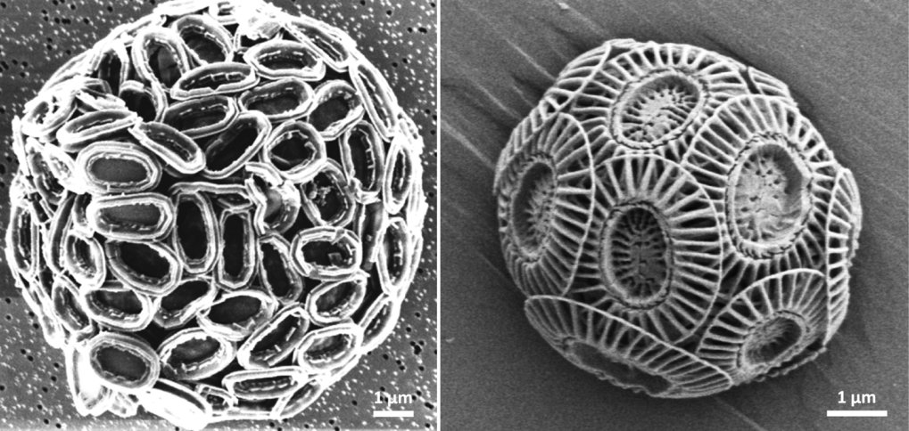 Figure 1: Scanning electron micrograph of the coccolith sheet (coccosphere) which encloses each cell of <em>Pleurochyrsis carterae</em> (left) and <em>Emiliania huxleyi</em> (right).