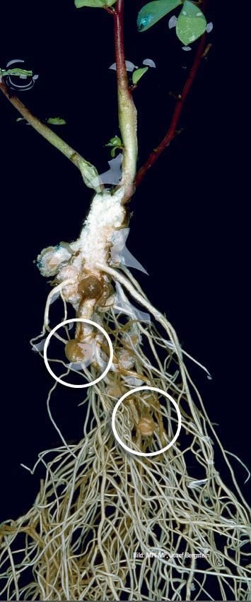 Rhizobia living in the roots of legumes