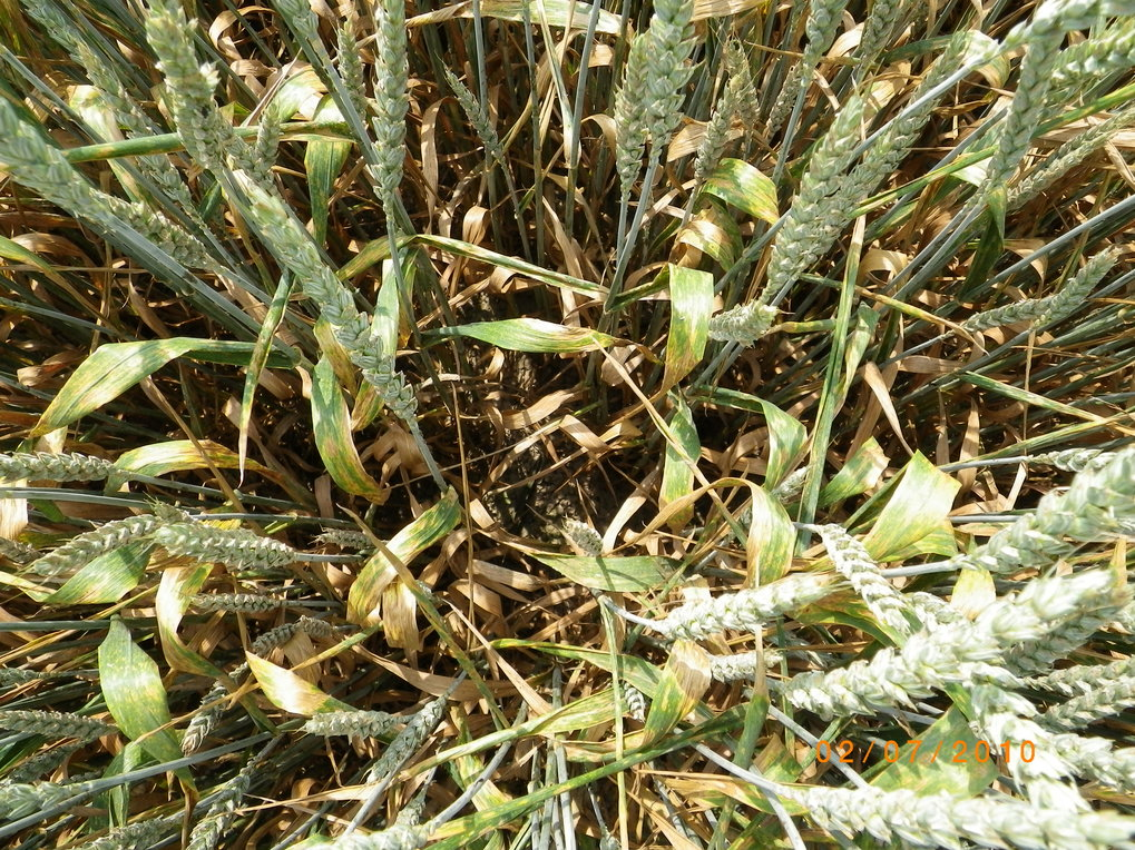 Powdery mildew infection in wheat