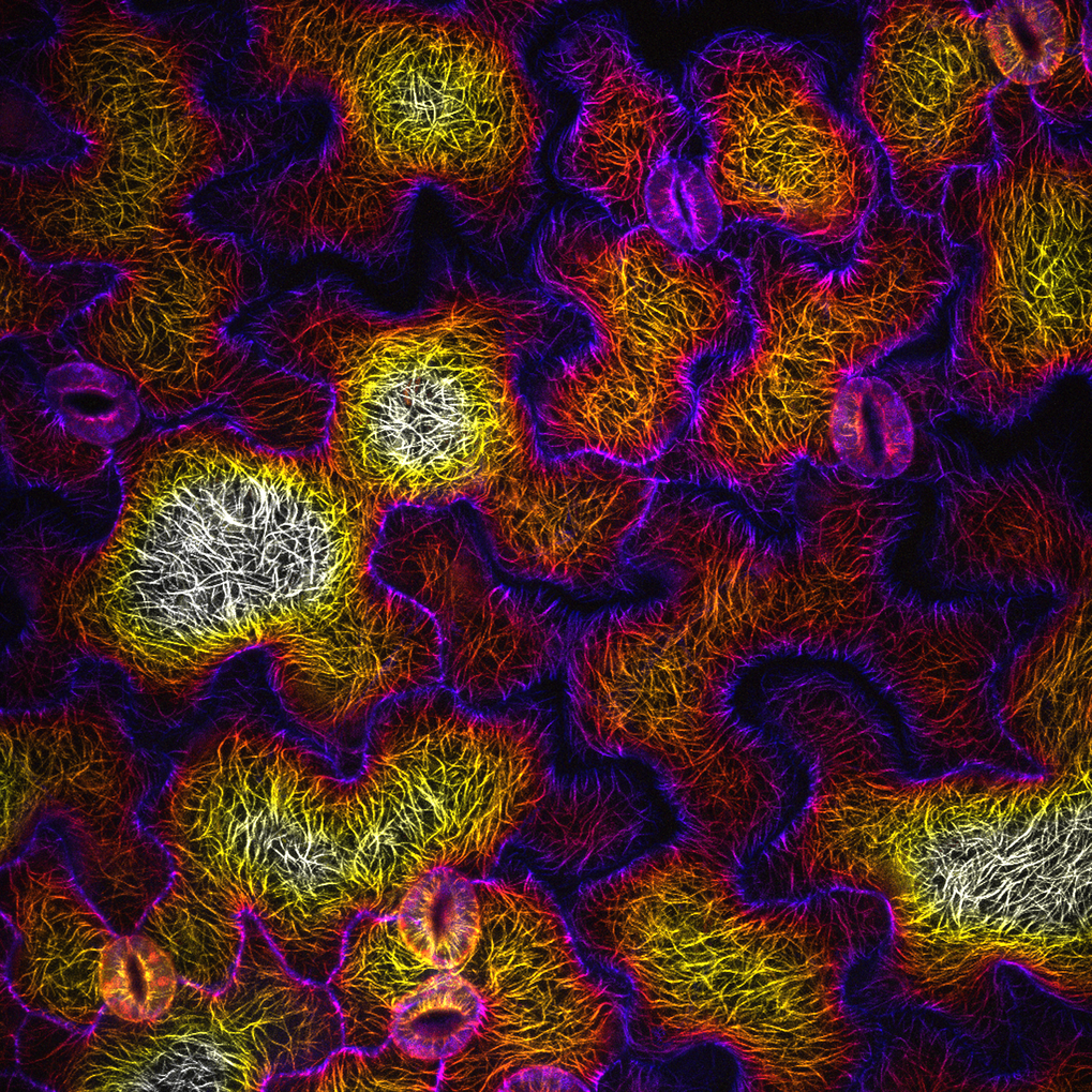 A depth color-coded set of aligned confocal Z-sections of microtubule arrays (mCherry:TUA5) in Arabidopsis leaf epidermal pavement cells, which exhibit complex polarity.