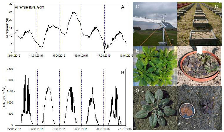 Fig. 4. Arabidopsis under field conditions. Temperature (A) and light intensity fluctuations (B) in the field during seed production of Arabidopsis thaliana. Platform for microclimate measurement (C). Arabidopsis field trial (D). Phenotype of Arabidopsis thaliana under climate-controlled conditions (E) and field conditions (F). Different anthocyanin accumulation in Arabidopsis accessions grown on natural sandy soil in response to photo chilling (G, H).
