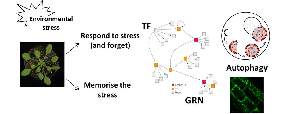 Plant responses to stress are controlled by multiple layers of regulation, including e.g. TF-GRNs and autophagy.