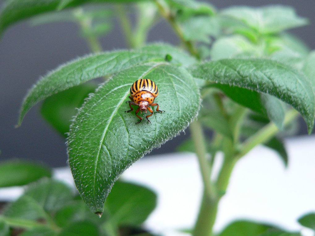 Colorado potato beetle (Leptinotarsa decemlineata): On average 40 to 50 cm2 of leaf material are eaten by each of the beetles' larvae. Infestation with Colorado potato beetles can result in crop losses up to 50 per cent, if there is no pest control.