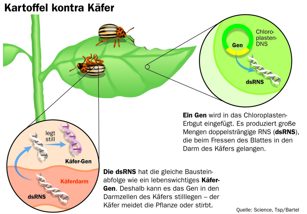 A gene is inserted into the chloroplast gene. It produces large amounts of double-stranded RNA (dsRNS) that enter the beetle's gut when the leaf is fed.The dsRNA has the same sequence as a vital beetle gene. This results in the silencing of the gene in the beetl's gut cells - the beetle avoids the plant or dies.