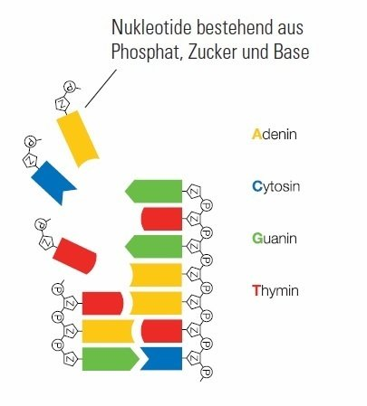 The genome, the DNA, is equal in all organisms. It consists of the 4 bases Adenin, Cytosin, Guanin and Thymin and a sugar-phosphat-backbone.