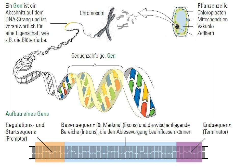 The double-stranded DNA is packed in the nucleus in form of x-shaped chromosomes. Here, they are well protected. The genes, single parts of the DNA, encode for the information of all different traits of an organism.