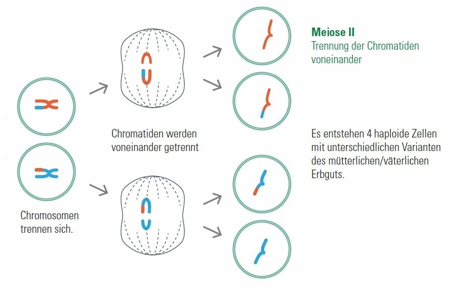 Meiosis IISeperation of the Chromatids