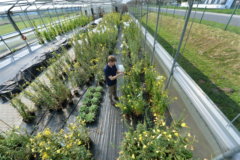 Chloroplast research in the evening primrose in the summer foil greenhouse at the MPI-MP.