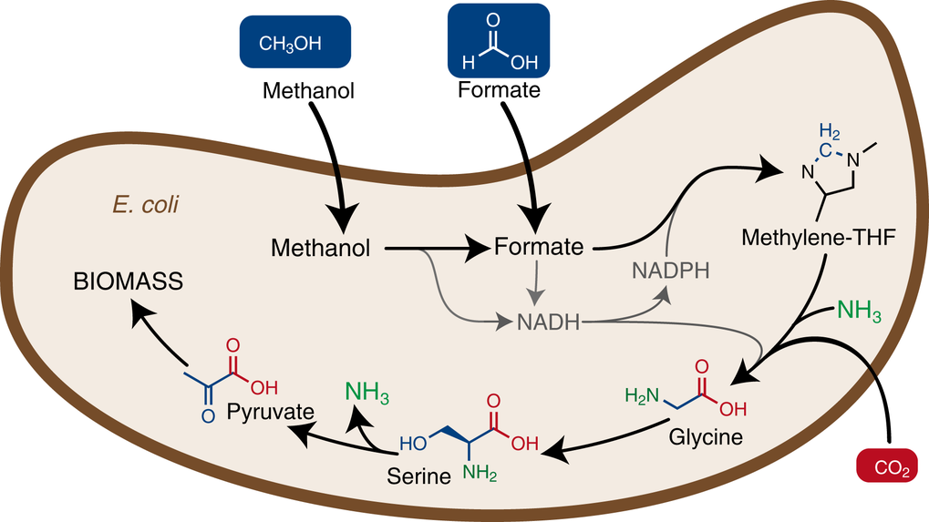 Fig. 1: The introduction of a new metabolic pathway into Escherichia coli enables the bacterium to use methanol or formic acid (Formate) as a food source to grow and build biomass.