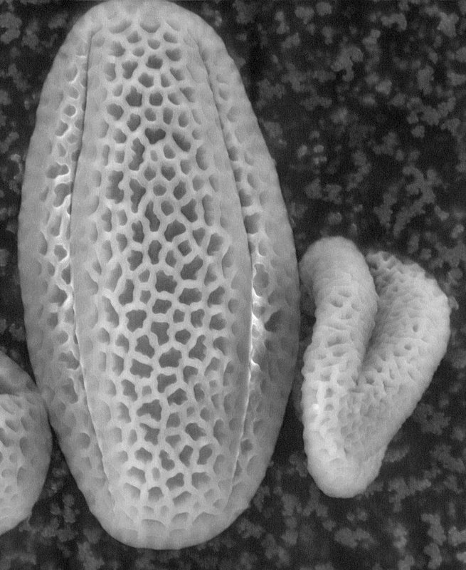 Arabidopsis pollen grain, mutant.