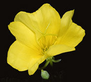 The model organism <em>Oenothera</em> (evening primrose) is used to elucidate why some combinations of nuclear and chloroplast genome are incompatible and what consequences for evolution and species formation are implied.