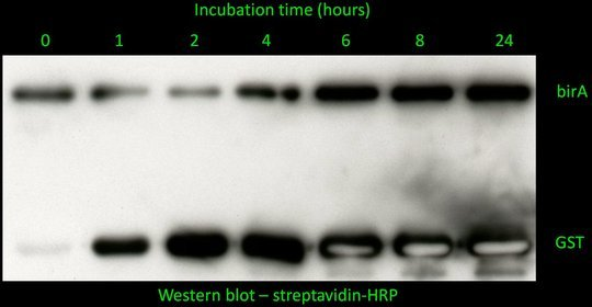 <p>Figure 2. Biotin ligase (birA) can biotinylate GST. To investigate whether birA can biotinylate another protein, we have purified birA and GST, and incubated both proteins with ATP and biotin over time of 24 hours. The reaction was then run on SDS gel and probed with streptavidin-HRP (streptavidin binds to biotin). As seen on the picture, birA rapidly biotinylates itself. GST becomes increasingly biotinylated after 1 hour.</p>